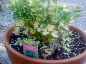Parsley decimated by a little green varmint