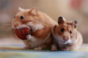 hamster_eating_strawberry