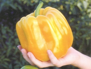 giant sweet pepper