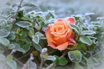 December roses are special!
